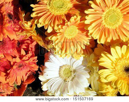 Aster flower on bazaar in Tel Aviv IsraelJanuary 7 2011