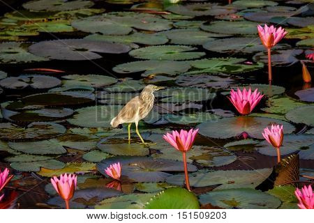 Bird standing on water lily leave at Talay noi lake Phattalung province Thailand.
