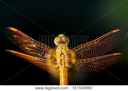 Pantala flavescens dragonfly top view on lotus root