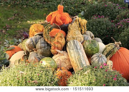 Pile of squashes in the grass surrounded with mums
