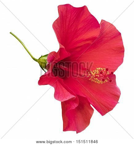 A photo of a vibrant pink Hybiscus flower, mallow family, isolated on white
