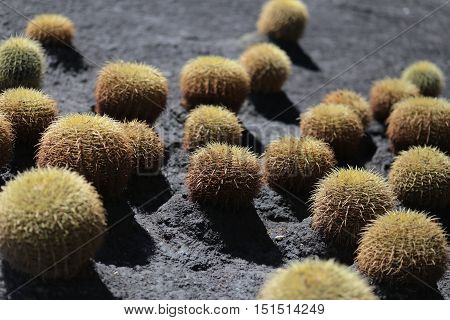 BallCactuses Echinocactus in the Large Group. Spain, Tenerife.