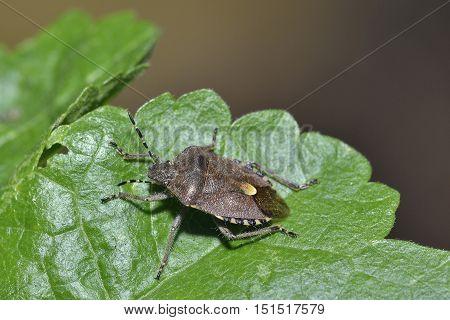 Hairy Shieldbug or Sloe Bug - Dolycoris baccarum Winter colour form