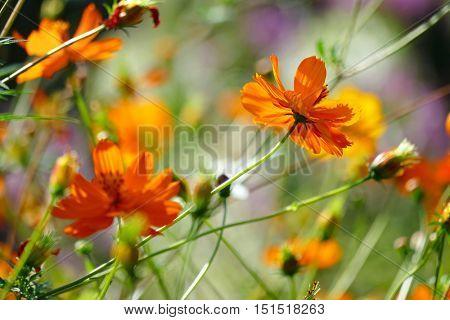Bright orange flowers violets on the summer flowerbed. Soft focus. Blurring background.