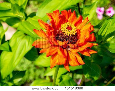 Red, orange and yellow Mexican Zinnia flowers