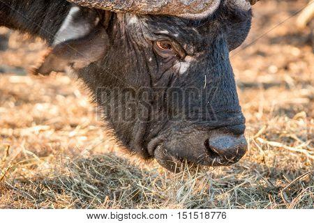 Close Up Of An African Buffalo Eating.