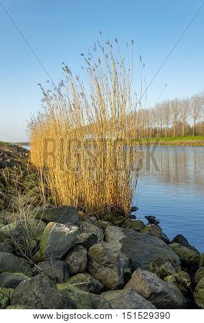 Row of bare trees reflected in the water surface of a Dutch canal. In the foreground yellowed reed plants are growing between the basalt blocks on the banks.