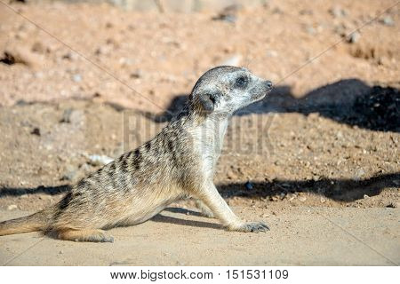 meerkat looking into the distance while sitting on the sand