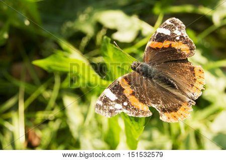 Monarch butterfly Danaus plexippus on orange garden flowers during autumn migration. Natural green background.