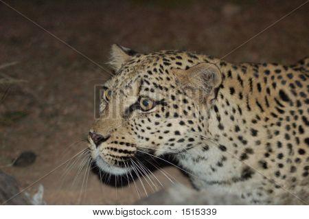 Animalsleopard Face Shot