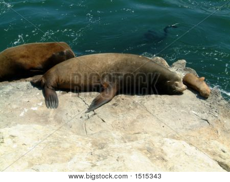 Animalsseals On The Rocks