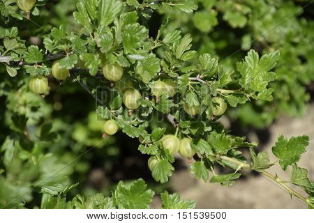 Gooseberries In The Garden On A Bed. Young Leaves Of Gooseberry
