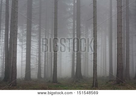 Image of the autumn fog in the spruce forest