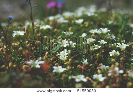 White Flowers On The Rocks