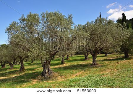 Idyllic rural landscape with olives trees and cypress on background Nemea region Peloponnese Greece Europe.
