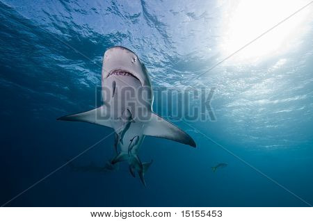 Lemon shark, Bahamas