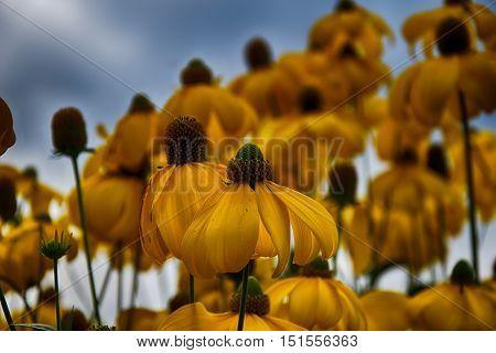 beautiful yellow flowers in the garden nature