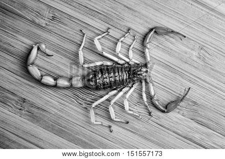 Young scorpion on a bamboo board, top view. black and white.