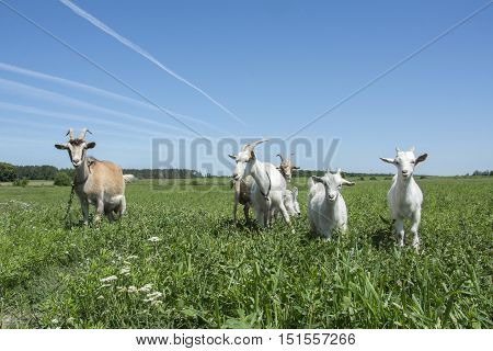 In the summer a bright sunny day a family of goats grazing in the meadow.