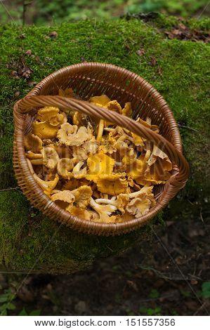 Fresh Mushrooms Chanterelle In Wicker Basket On Old Log Seasonal Harvesting Mushrooms. With Moss In Forest. Top View. Edible Mushrooms Chanterelle In Forest.