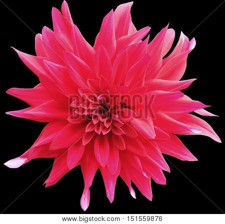 red flower with clipping path isolated on the black background. Closeup. garden flower dahlia. Nature.