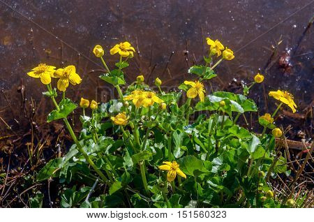 Closeup of a yellow budding and flowering marsh-marigold or Caltha palustris plant with bright green leaves on the water side on a sunny day in the spring season.