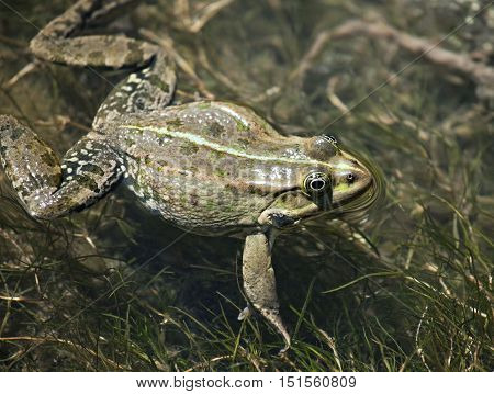 Big green frog swimming in the water