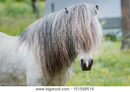 Icelandic horse. Grey stallion with very long mane.
