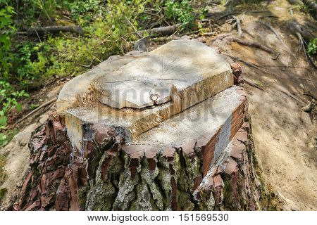 Close Up Of Giant Redwood Tree Stump. Taupo, New Zealand