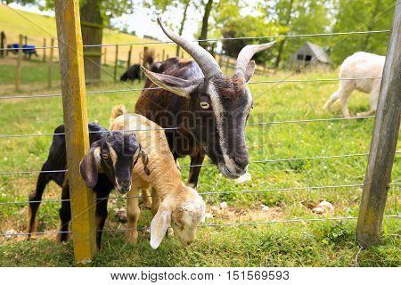 Zealand Arapawa Goat With Baby Goats At The Farm