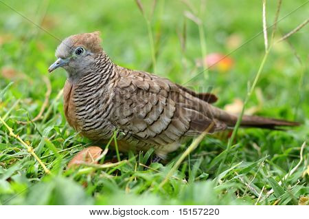 Portrait Of A Zebra Dove On Some Grass