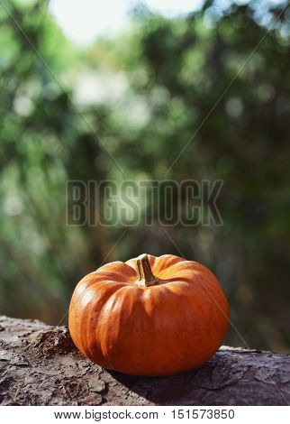 closeup of a pumpkin on the branch of a pine tree