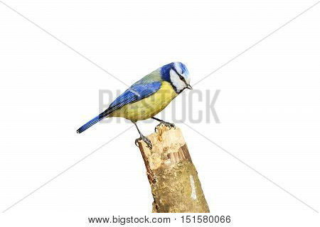 blue tit with a yellow breast perched on a branch on white isolated background