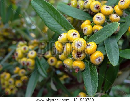 beautiful yellow berries on Bush, the names of the pyracantha Bush