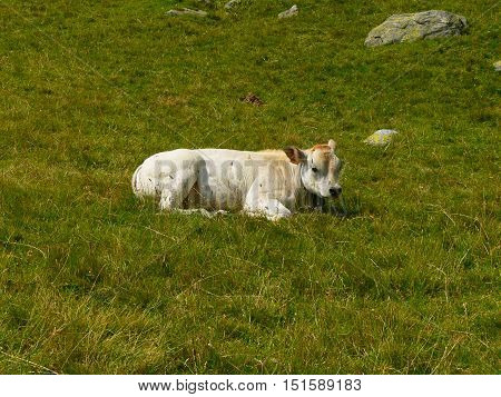 calf small white cow resting after lunch in the high mountains