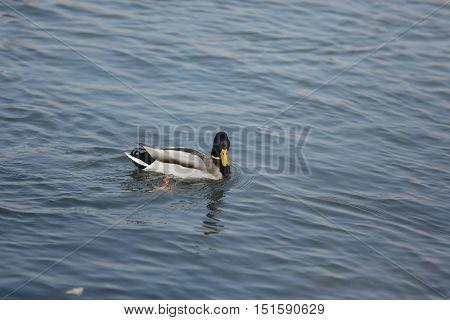 Nature, animal, fauna, bird, duck, Mallard, waterfowl, Tinnie