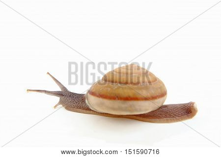 Close-up of freshwater snail on white background