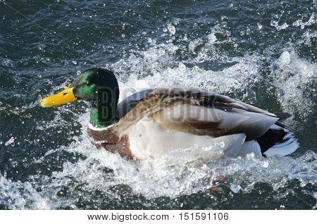 Nature, animals, fauna, birds, waterfowl, ducks, duck, duck, duck