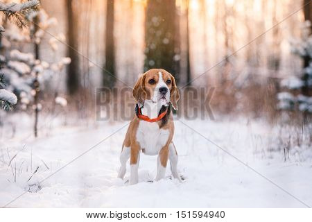 Dog breed Beagle walking in winter forest run and play outdoors