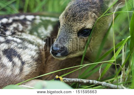 fawn in the wild background portrait , life of animals