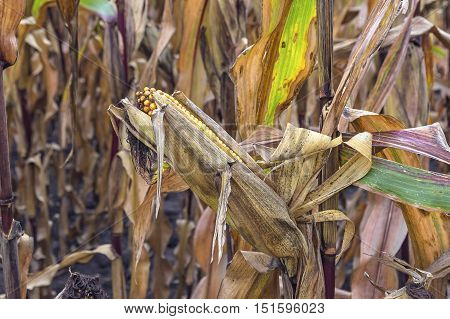 Corn field before harvest. Agricultural concept. Selective focus.