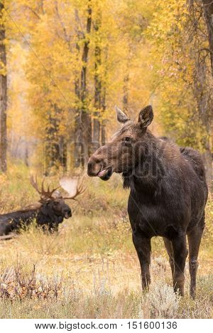 a cow moose standing with a bedded bull in the background during the fall rut