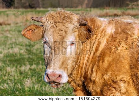 Portrait of a staring cow with curly brown hair blonde eyelashes and horns on a sunny day in the spring season.