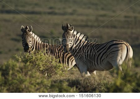 Burchell's Zebra, Equus quagga burchellii, Karoo National Park, South Africa