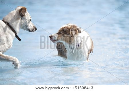 Two dogs meeting in a swimming pool