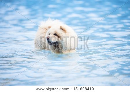 Chow Chow in swimming pool blue water
