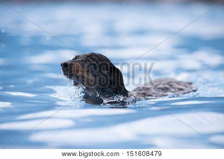 Dog Dachshund swimming in a swimming pool blue water