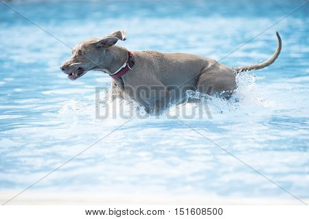 Dog Weimaraner running in swimming pool blue water