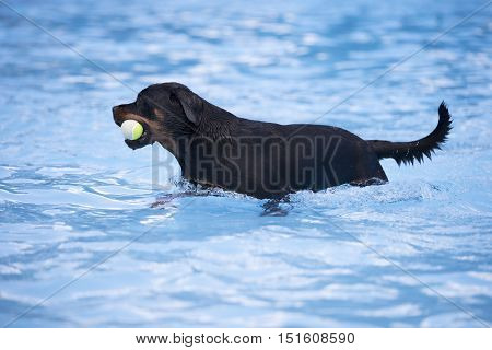 Dog Rottweiler with tennis ball in swimming pool blue water