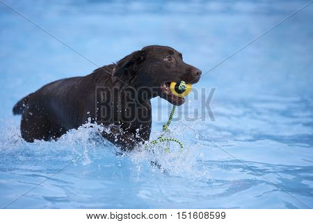 Dog brown Labrador retriever fetching yellow ball in swimming pool blue water
